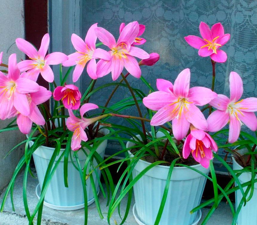 Луковичные цветы для сада и комнатные растения