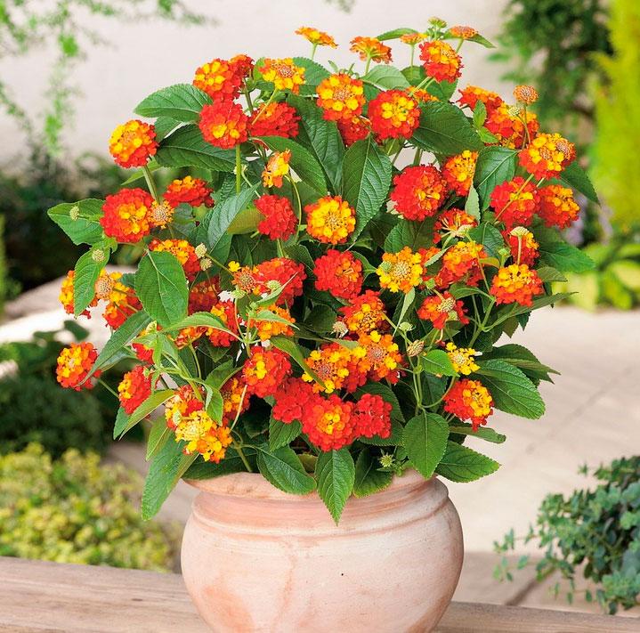 лантана цветок фото и описание таких работ можете