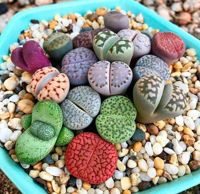 Литопс (Живые камни)