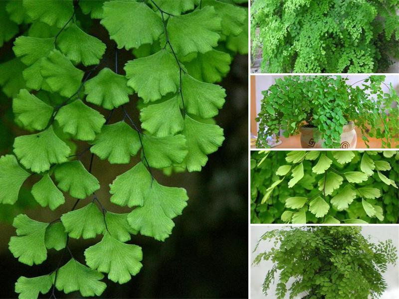 Венерин волос растение