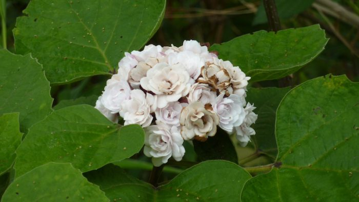 Клеродендрум душистый (Clerodendrum fragrans)