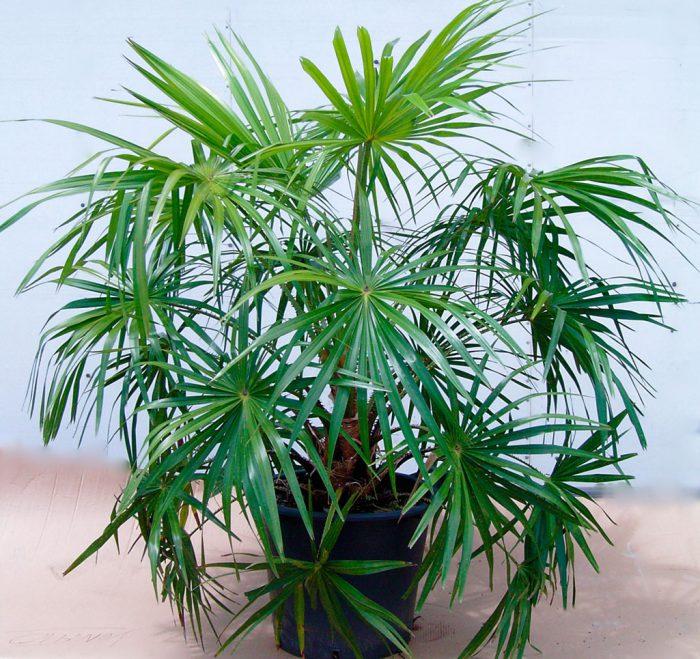 Ливистона южная (Livistona australis)