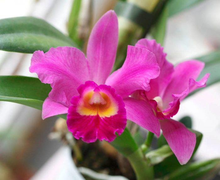 Уход за орхидеей каттлея в домашних условиях