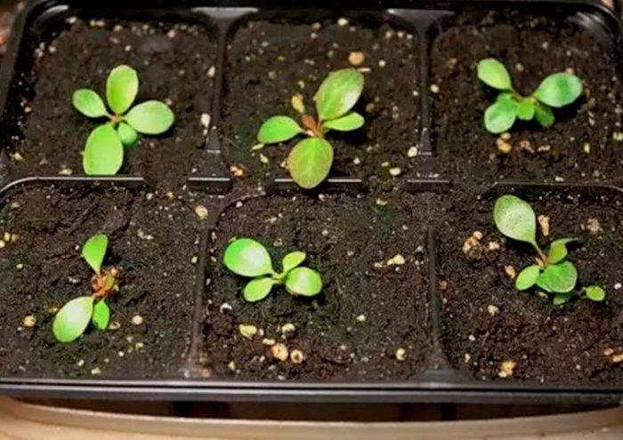 Выращивание бадана из семян