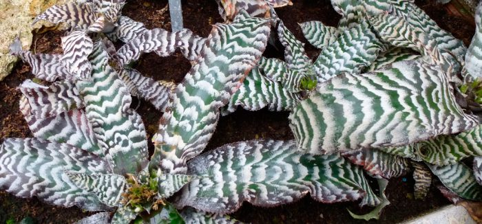 Криптантус поперечно-полосатый (Cryptanthus zonatus)