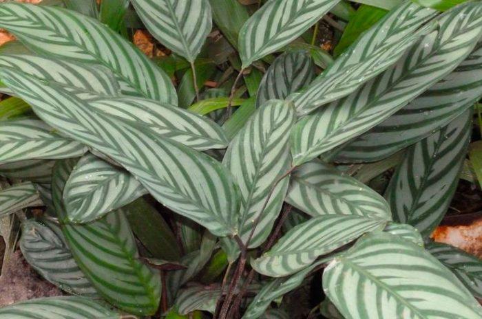 Ктенанта опушенная (Ctenanthe setosa)