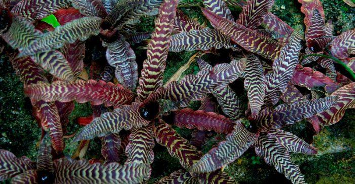 Криптантус Фостера (Cryptanthus fosterianus)