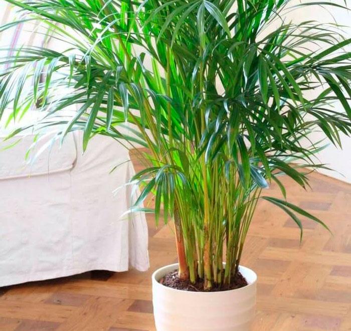 Особенности пальмы ареки
