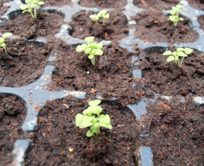 Выращивание бакопы из семян