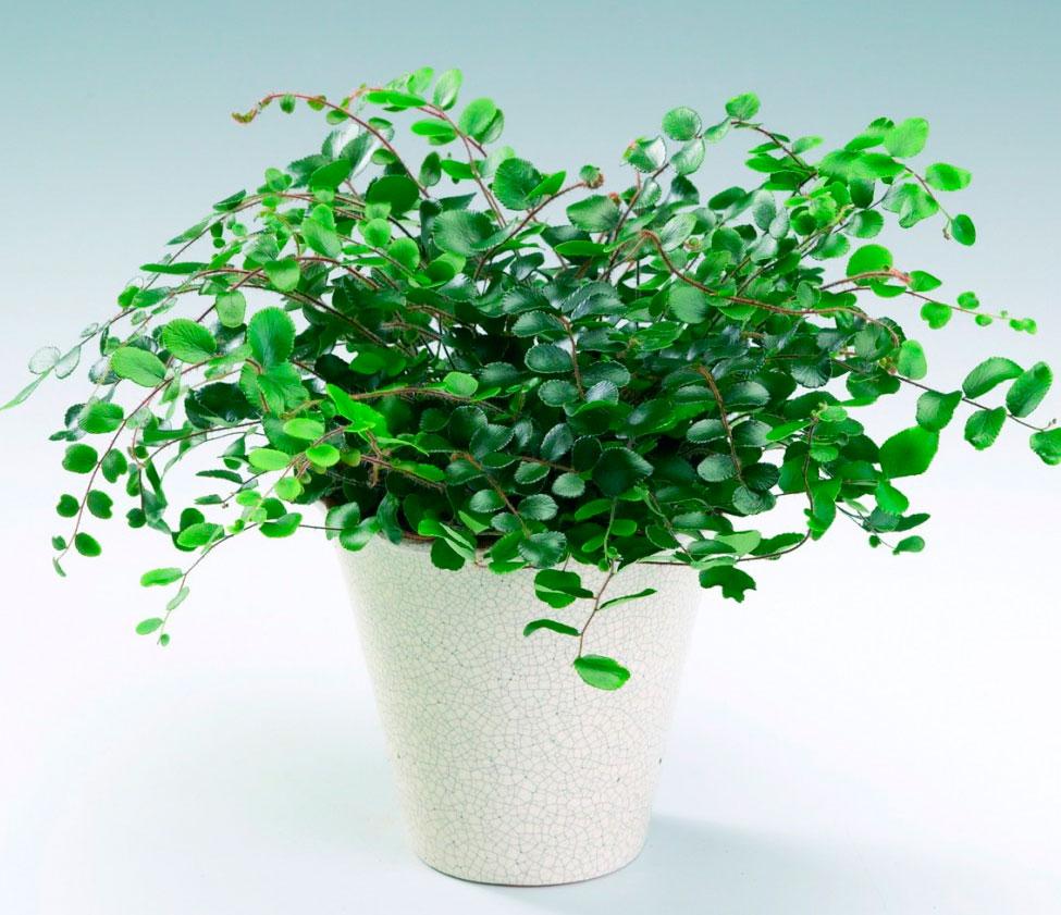 Пеллея (комнатный цветок) круглолистная: уход в домашних условиях
