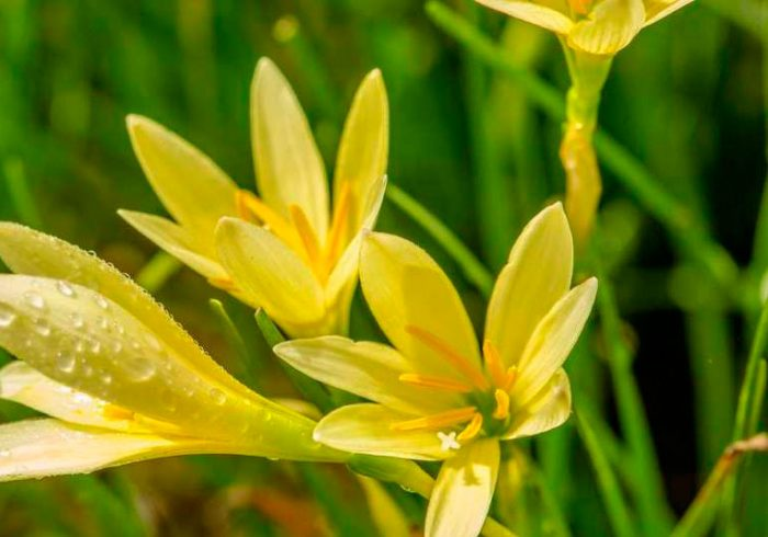 Зефирантес золотистый