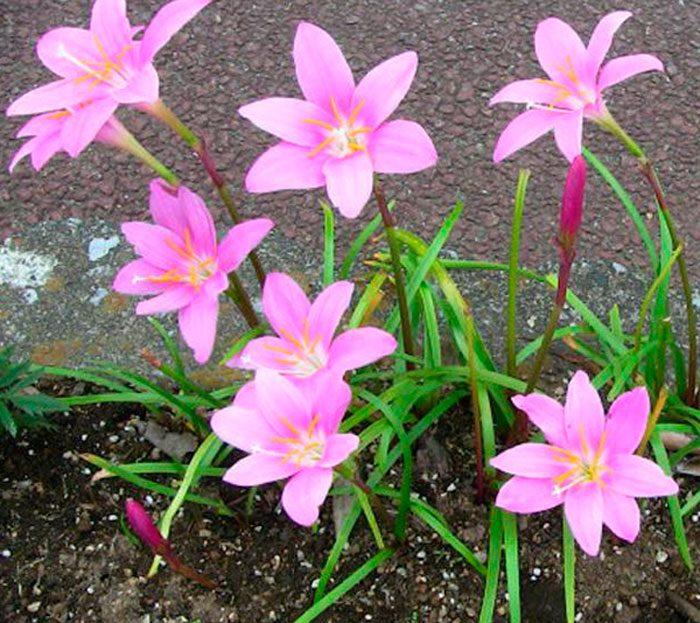 Зефирантес крупноцветковый