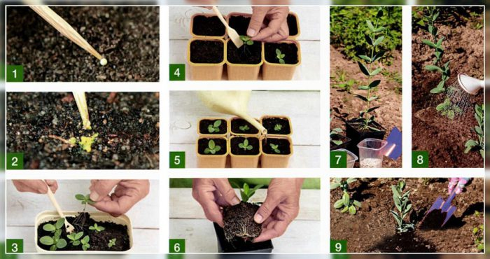 Размножают семенами