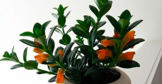 Нематантус (Золотая рыбка цветок)