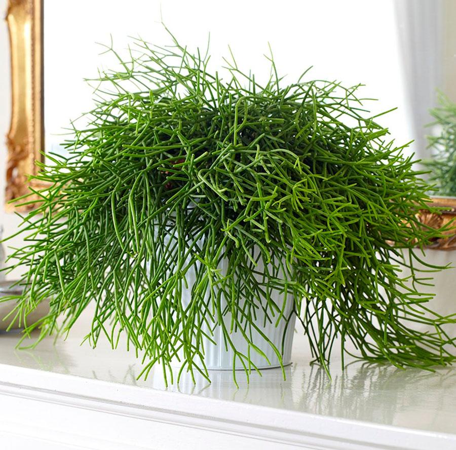 Цветок Рипсалис кассута: фото, уход в домашних условиях