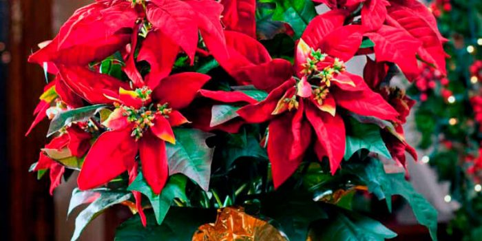 Пуансеттия (Рождественская звезда)