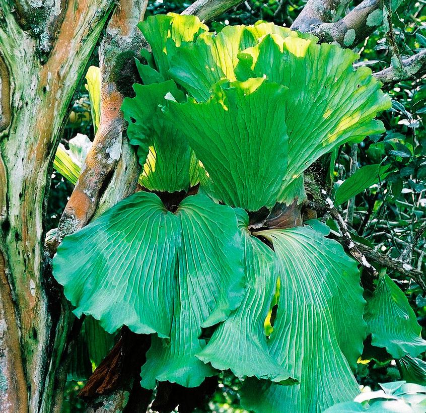 Платицериум ангольский (Platycerium angolense)