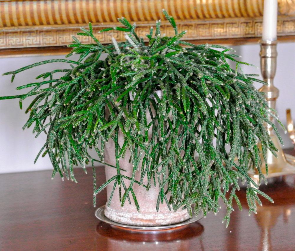 Цветок Рипсалис: фото, уход в домашних условиях, болезни и вредители