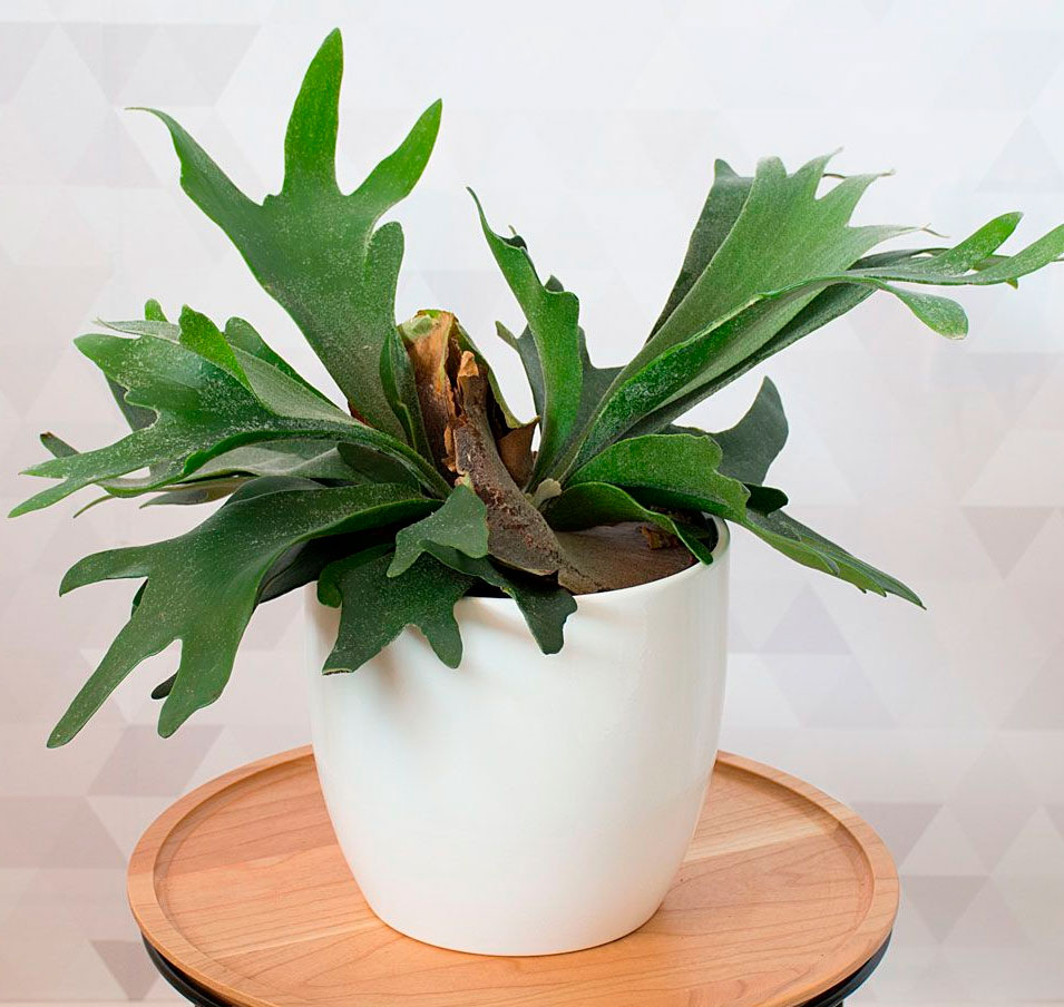 Цветок оленьи рога картинка