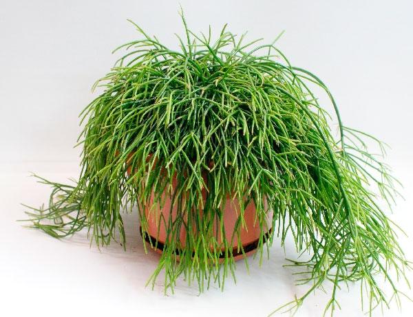Выращивание и уход в домашних условиях рипсалиса, фото
