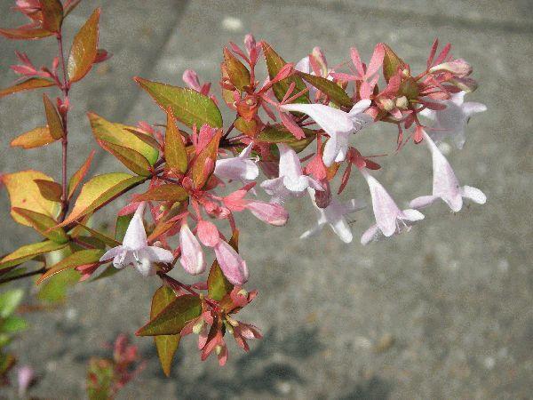 Растения абелия крупноцветковая и китайская фото и уход в