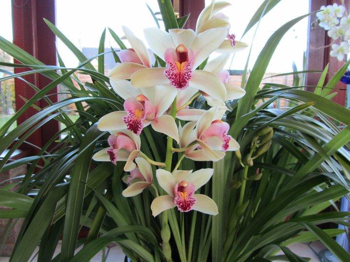 Орхидея Цимбидиум Уход за орхидеей в домашних условиях свет