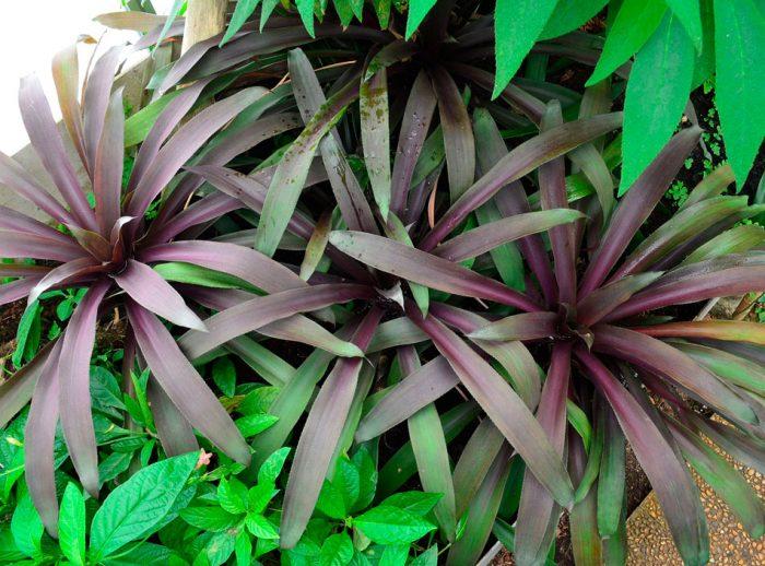 Нидуляриум пурпурный