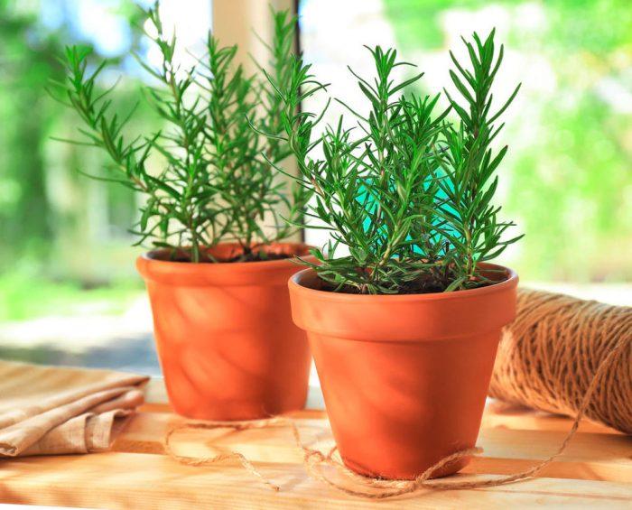Выращивание розмарина в домашних условиях