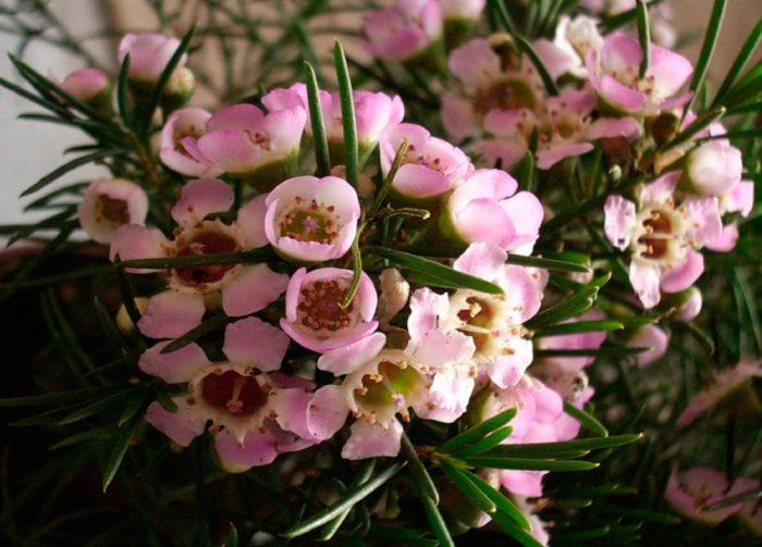 Хамелациум орхид