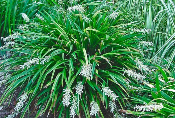 Офиопогон ябуран (Ophiopogon jaburan)
