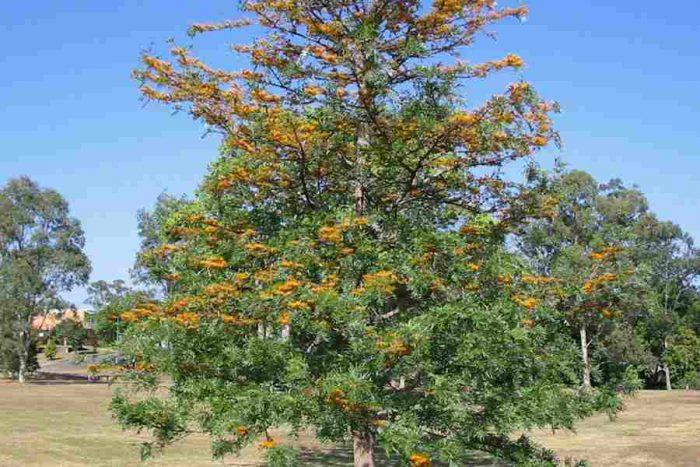 Гревиллея крупная (Grevillea robusta)