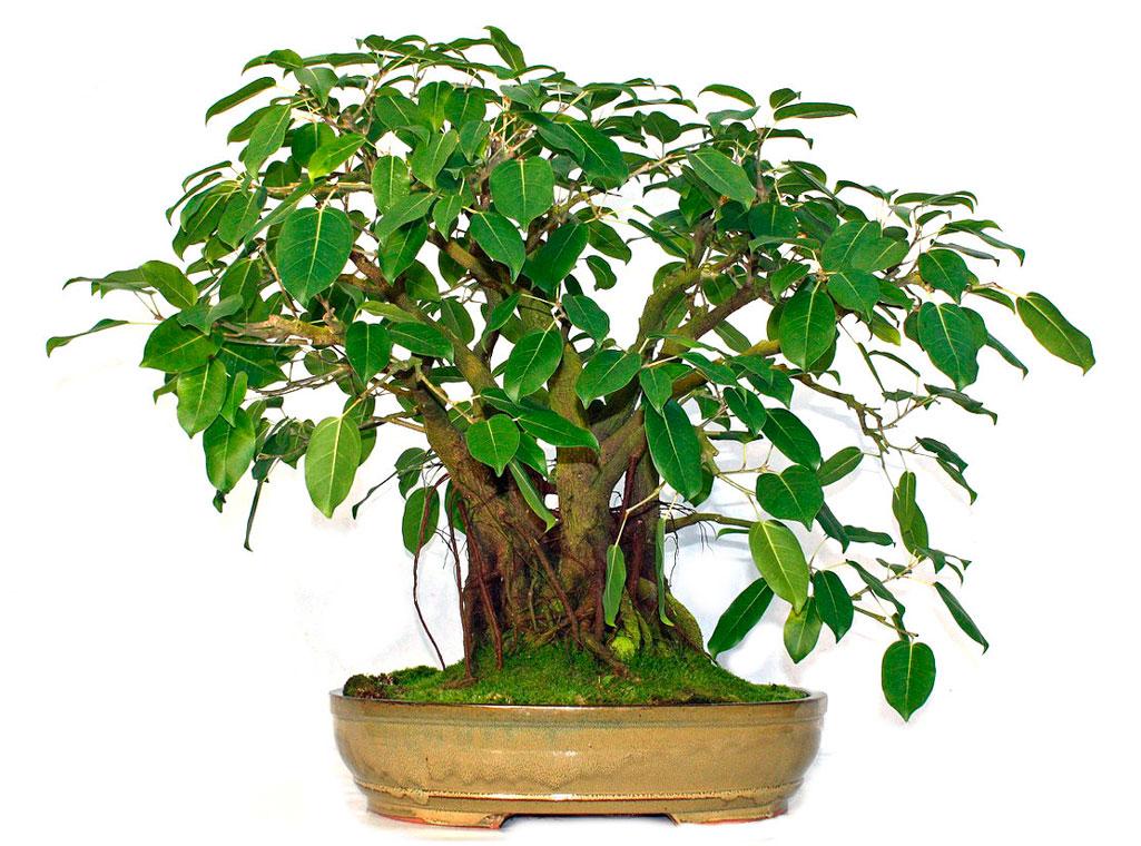 Фикус Священный: выращивание в домашних условиях