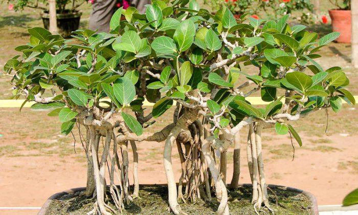 Фикус бенгальский