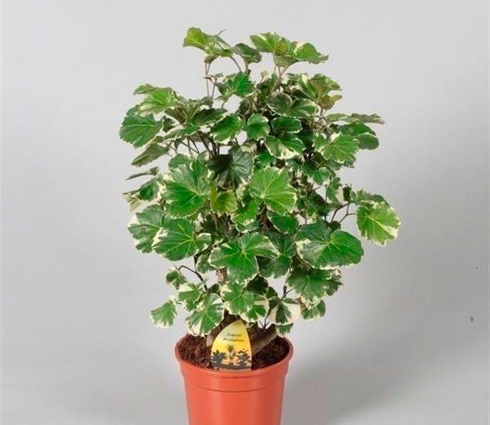 Цветок полисциас бальфура. Полисциас: уход в домашних условиях, фото