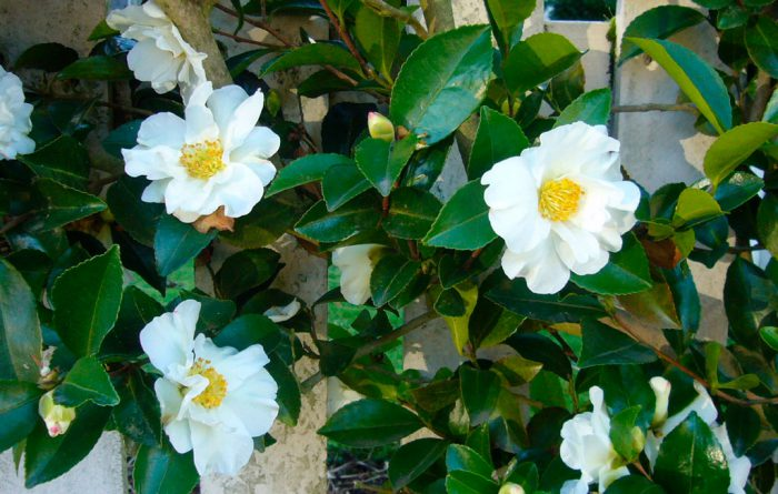 Камелия горная (Camellia sasanqua)
