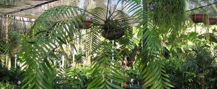 Замия ложнопаразитическая (Zamia pseudoparasitica)