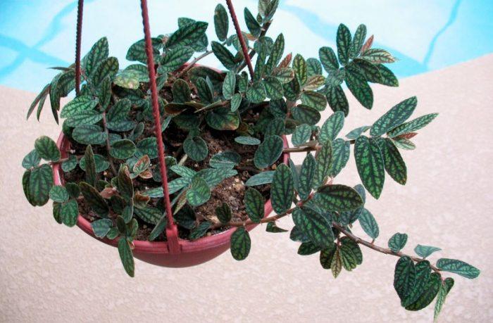 Пеллиония Даво (Pellionia daveauana)
