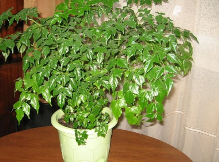 Радермахера китайская (Radermachera chinensis)