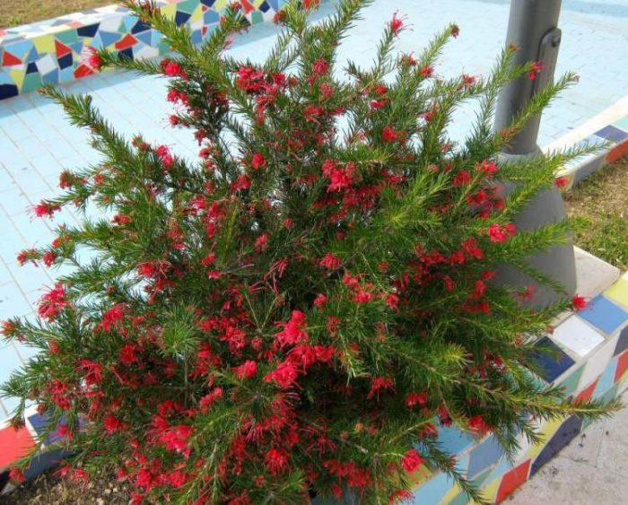 Гревиллея розмаринолистная (Grevillea rosmarinifolia)