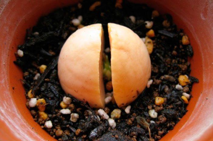 Проращивание семени
