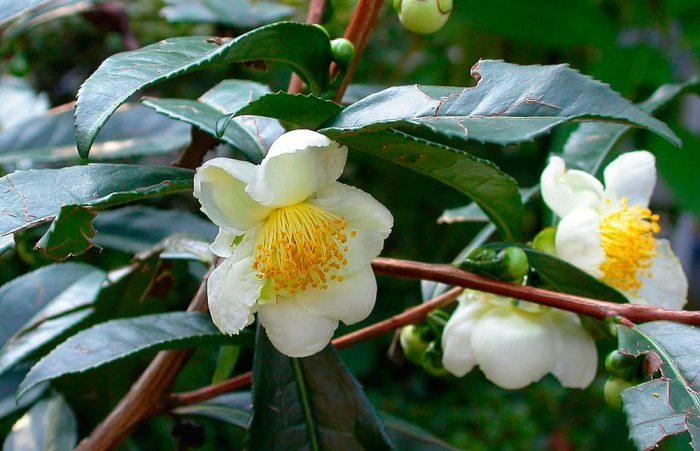 Камелия китайская (Camellia sinensis)
