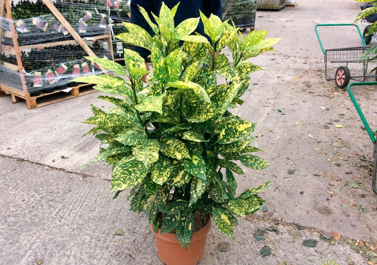 Аукуба  Aucuba описание и уход на FloralWorldru