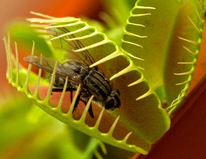 Особенности венериной мухоловки