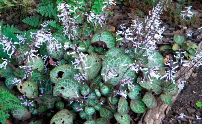 Плектрантус Эртендаля (Plectranthus oertendahlii)