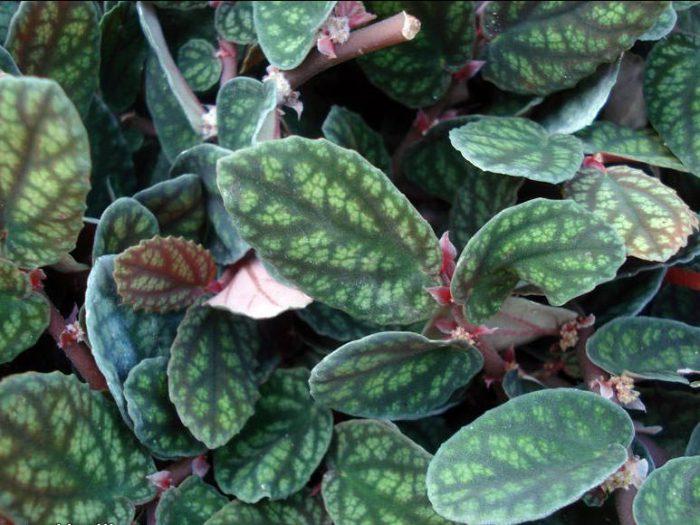 Пеллиония прекрасная (Pellionia pulchra)