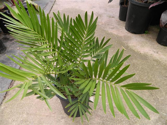 Замия широколистная (Zamia latifolia)