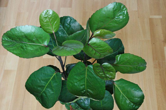 Полисциас шлемовидный (Polyscias scutellaria)