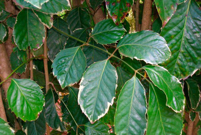 Полисциас Гуильфойля (Polyscias guilfoylei)