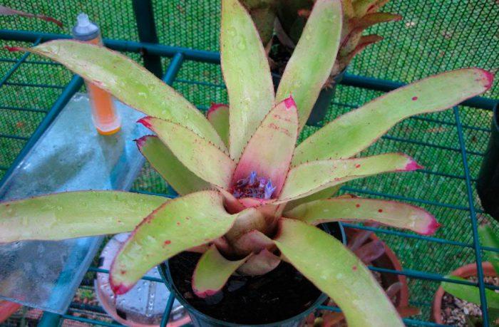 Неорегелия синяя (Neoregelia cyanea)