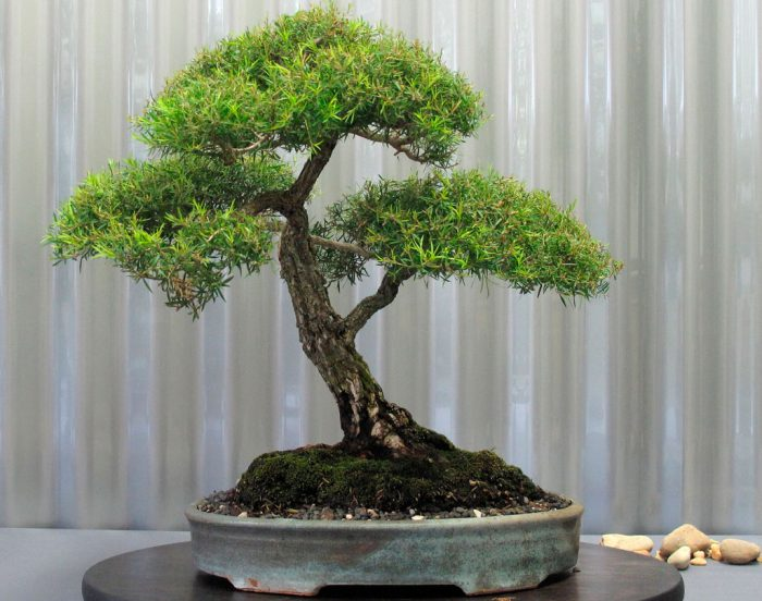 Мелалеука очереднолистная (Melaleuca alternifolia)